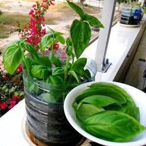 fresh basil leaves, balcony kitchen garden, tomato basil soup