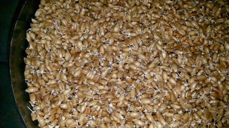 How to sprout grains, sprouting wheat at home