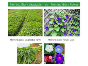 difference between morning glory vegetable and morning glory flower
