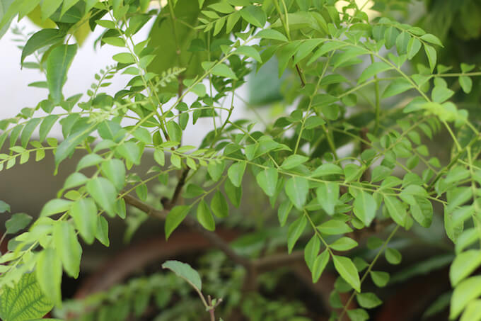 fresh curry leaves, Indian curry leaf plant