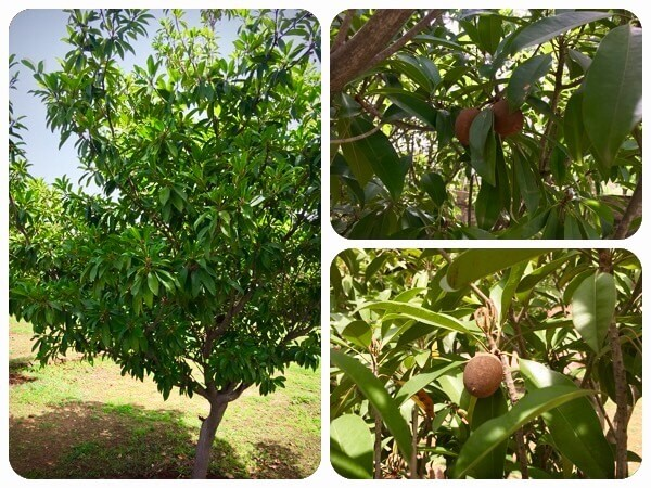chikoo fruit tree