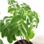 fresh tulsi holy basil