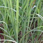 lemongrass in hindi neembu ghaas or hari chai ki patti