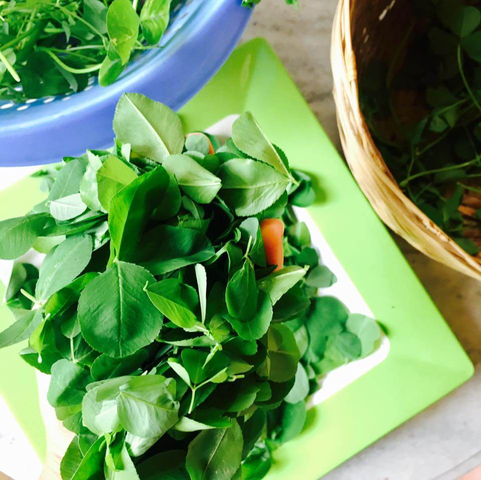 Fresh fenugreek leaves (methi in Hindi)